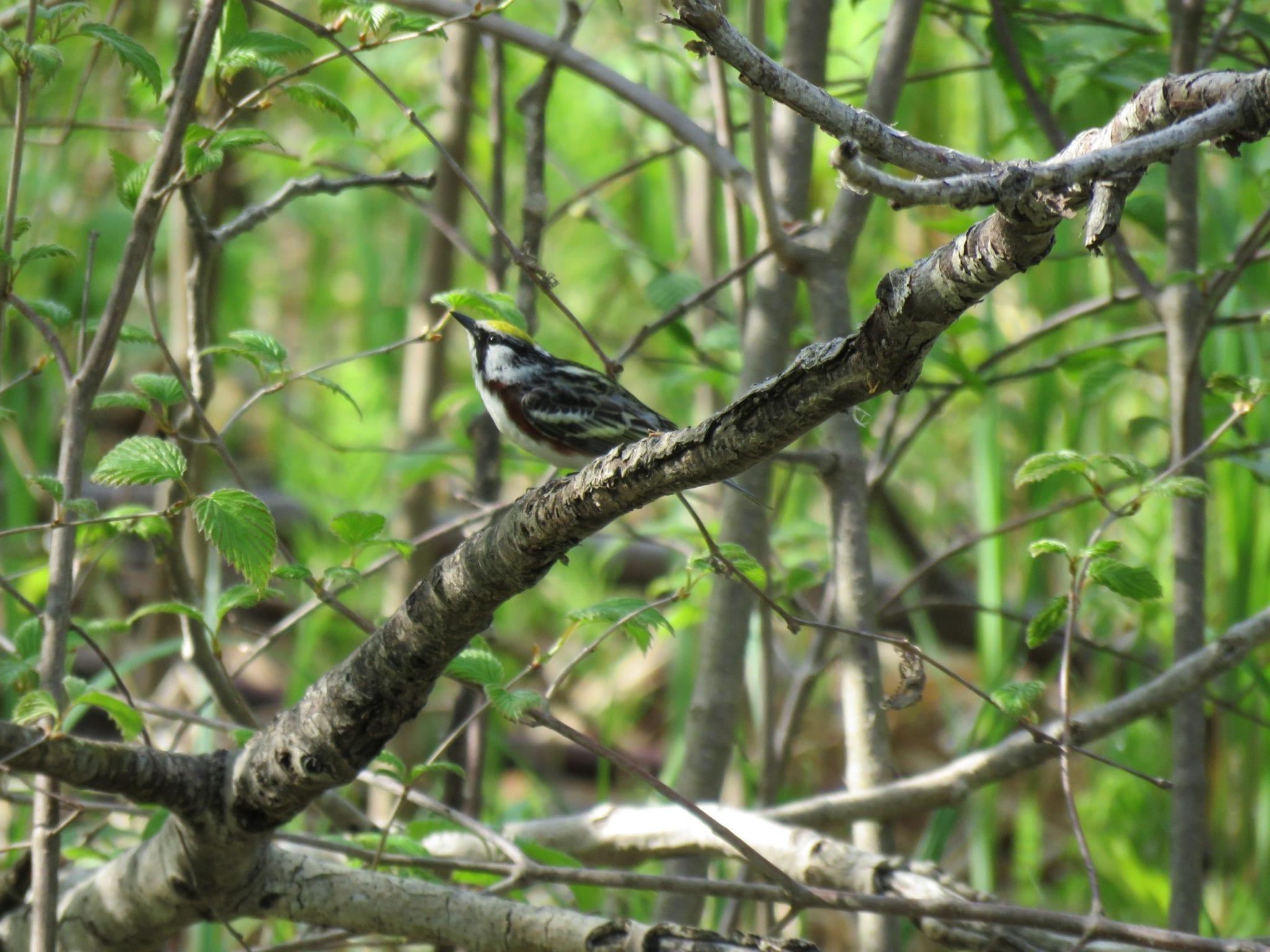 Green Maine birding